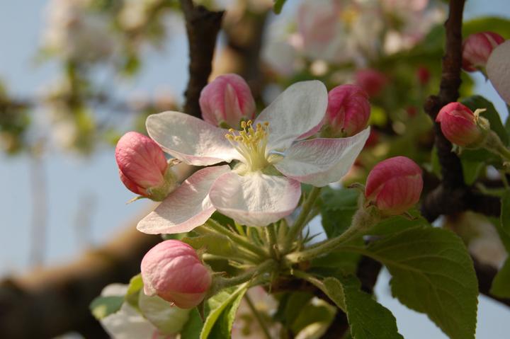 Long Island Property Gallery Apple Blossom